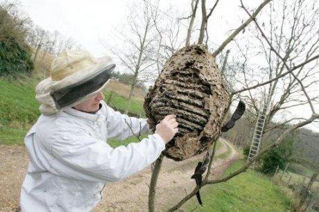 un apiculteur face un nid de bourdon asiatique pi ge. Black Bedroom Furniture Sets. Home Design Ideas